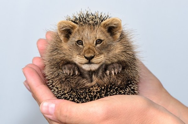 small hedgehog with a lion's face in someone's hands
