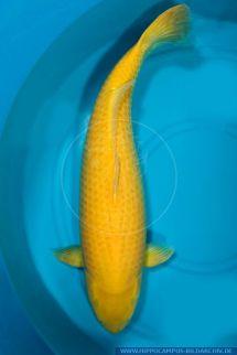 Cyprinus carpio kigoi alias Koi Hippocampus Bildarchiv