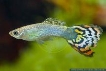 Poecilia reticulata LEOPARD alias Guppy Hippocampus