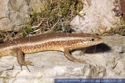 Mabuya perrotetii alias Redsided Skink  Hippocampus