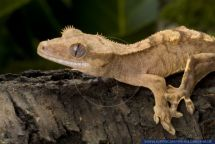 Rhacodactylus ciliatus alias Rhacodactylus ciliatus