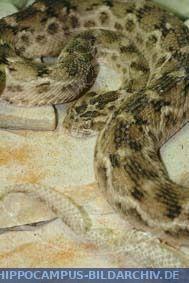 Echis ocellatus alias West African carpet viper ...