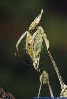 Gongylus gongyloides DNZ alias Wandering violin mantis