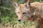 coyote at edge of woods