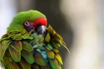 fluffy colorful macaw