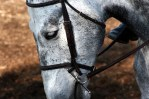 gray horse looking down