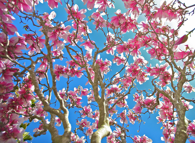 magnolia tree looking up