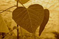 heart-shaped leaf with close up of the veins to resember the circulatory system talked about in story