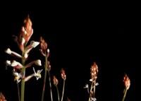 budding plants, glow against black background