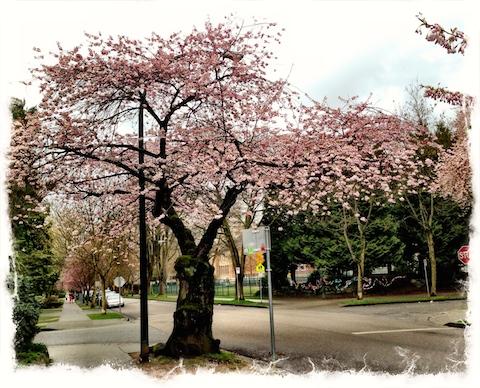 Cherry tree, Vancouver