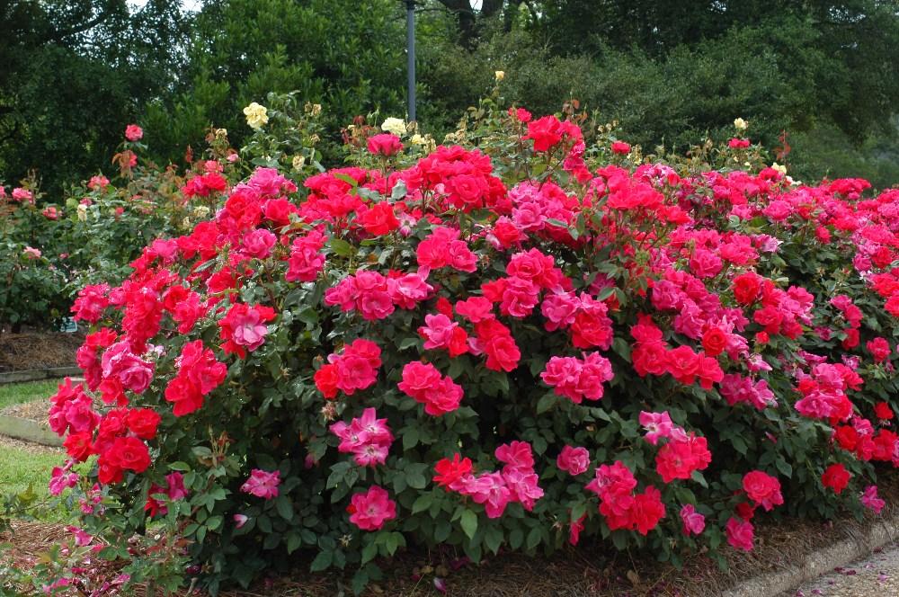 How To Plant A Rose Bush HireRush Blog