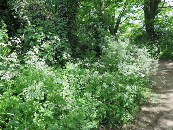 バーンズリーの庭|カウパセリの散歩道