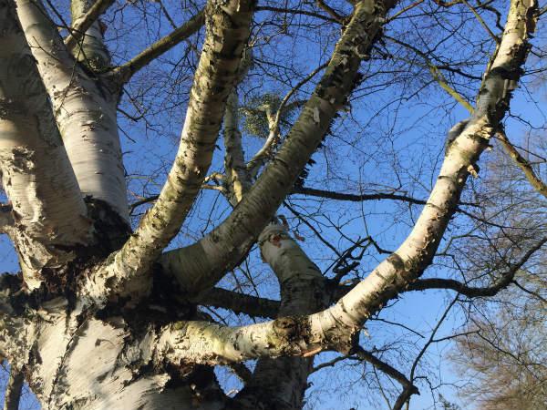 冬の木々〜シラカバ
