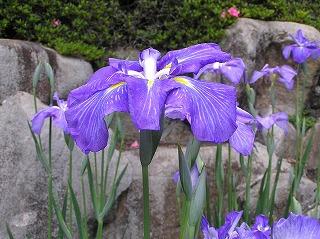 ハナショウブ/広島市植物公園