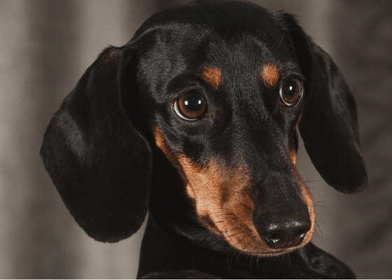 Best Apartment Dog Breeds Dachshund