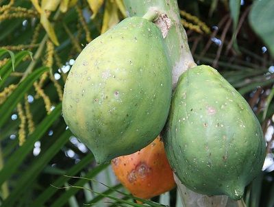 unripe papaya for irregular periods