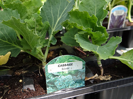 tray of Savoy cabbage seedlings bought from Gordon Rigg