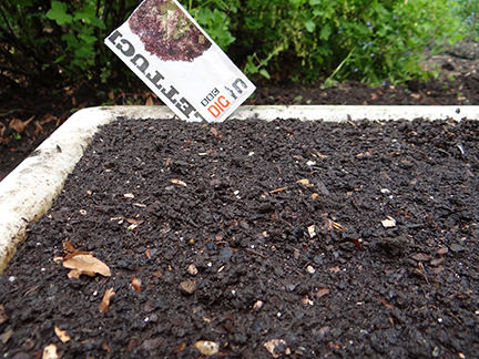 planting lolla rosa lettuce seeds