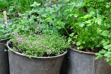 selection of herbs growing in zinc containers