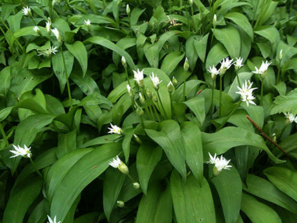 patch of wild garlic growing in wooded area