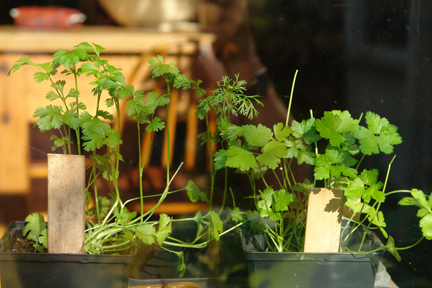 flat leaf parsley and coriander growing on a windowsill