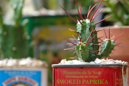 Detailed view of a small, spiky cactus in a small smoked paprika tin in our garden