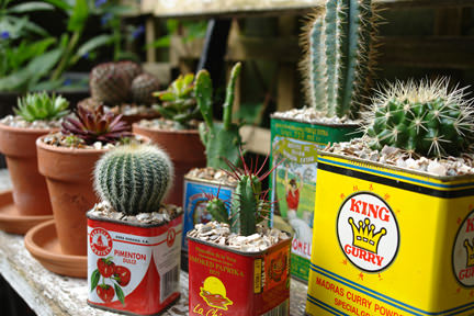 Collection of small succulents & cacti in food tins & terracotta pots on a bench in our garden