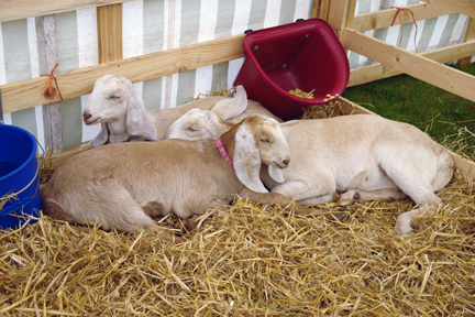 goats on display at the Todmorden Agricultural Show