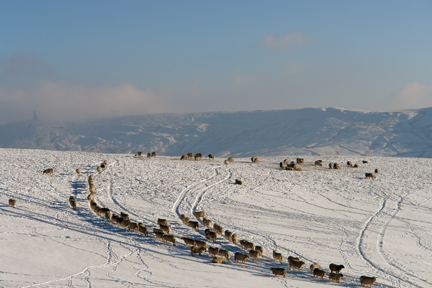 flock of sheep in a snowy landscape