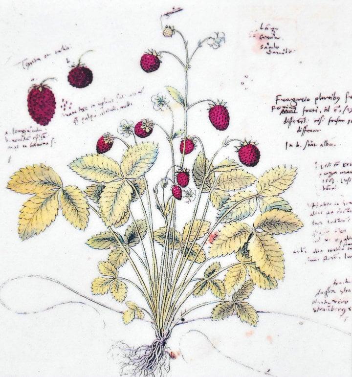 Poppy stationery notecard botanical notelet Botanical illustration Floral Flower illustration Notelet postcard Botanical