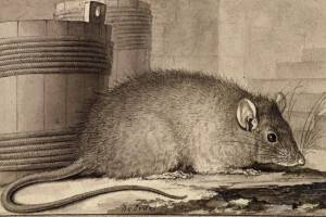 Le rat par Jacques Seve -1758