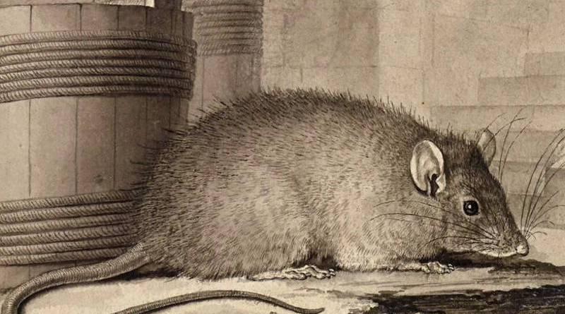 Le rat par Jacques Seve -1758