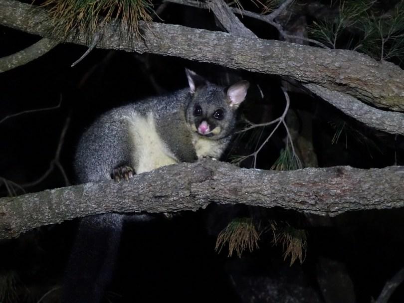 Tasmanie opossum
