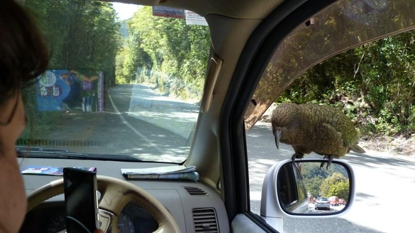 Le Kea est un oiseau curieux et joueur