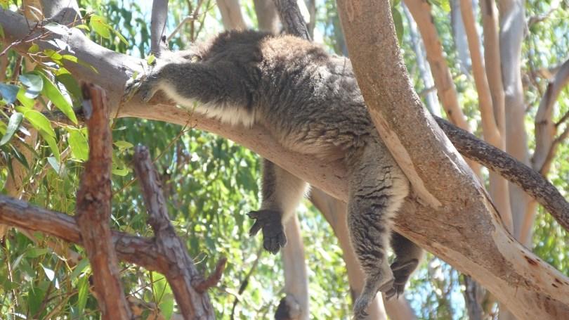 Koala qui bronze