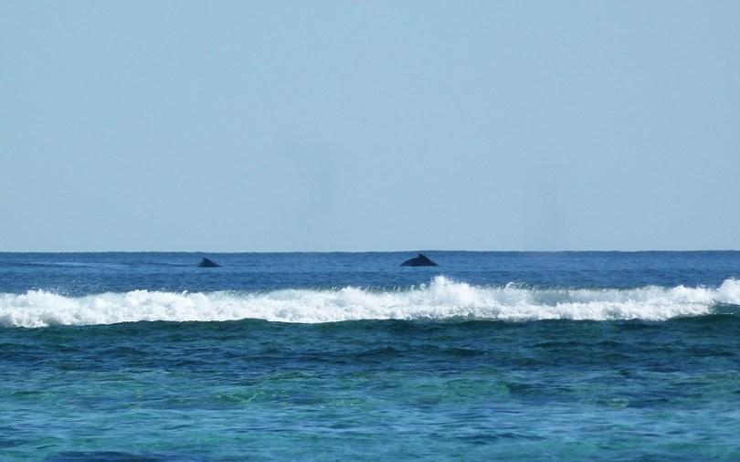 Baleines à bosse au Ningaloo