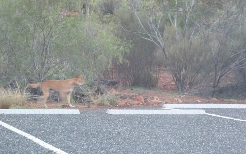 Notre premier dingo !