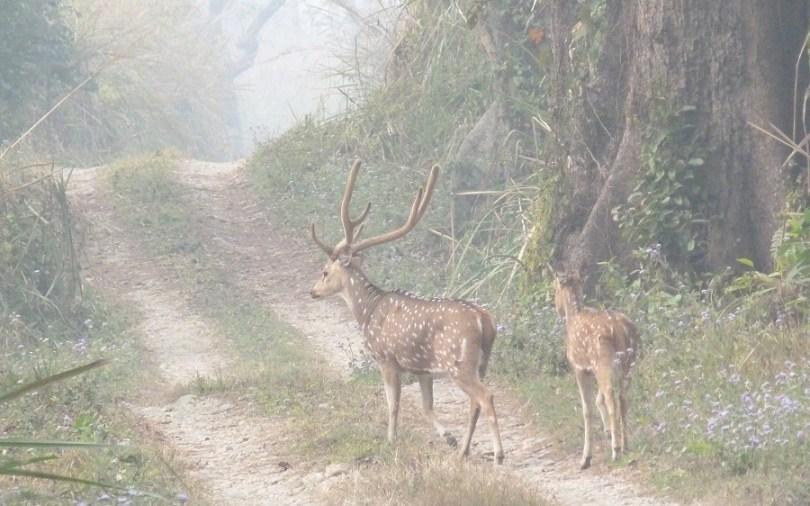 Chitwan cerf biche