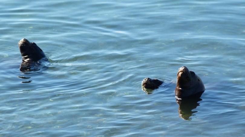 Chiloe phoques