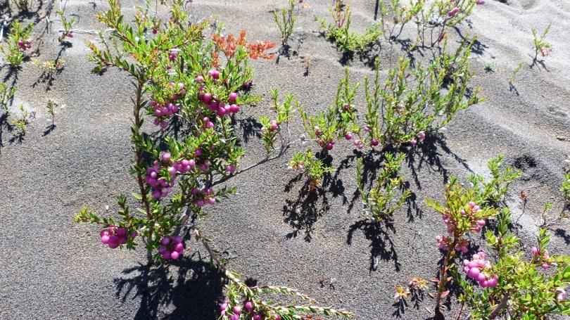 Osorno terre plantes volcaniques