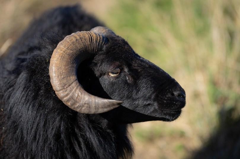 Mouton ouessant pointe du raz
