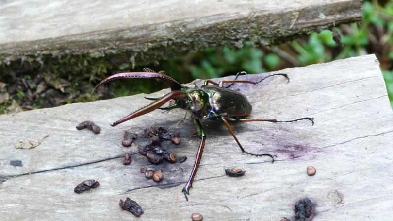 Pumalin insecte