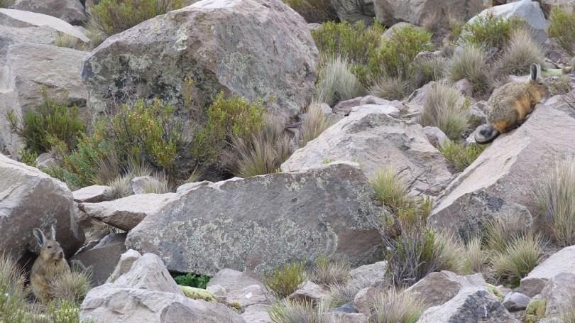parinacota viscachas