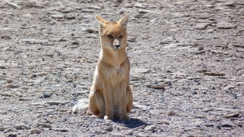 renard andes lipez bolivie