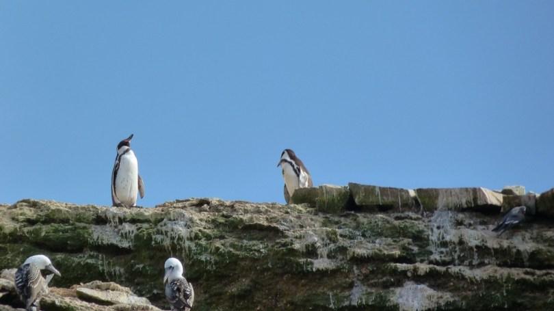Islas Ballestas pingouins fous