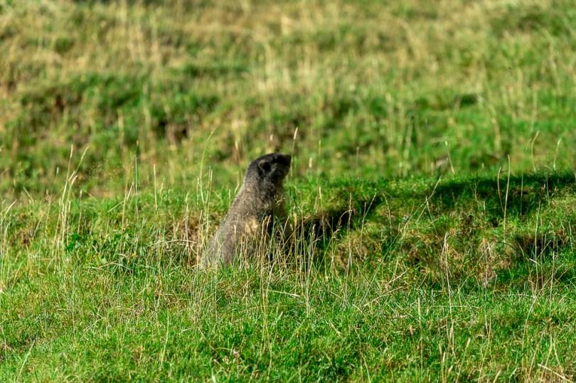 mont blanc parc merlet marmotte