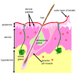 dermis layer diagram 2002 chevy avalanche problems the histology guide skin this shows layers found in there are three main epidermis and hypodermis also sweat glands hairs