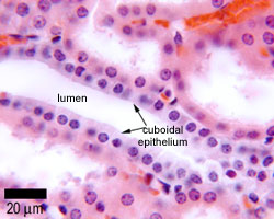 The Histology Guide | Epithelia