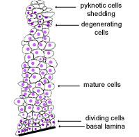stratified columnar epithelium diagram 88 honda accord wiring the histology guide epithelia squamous