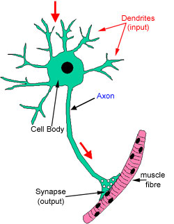 detailed neuron diagram mercedes w211 wiring diagrams the histology guide nerves of a